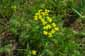УEuphorbia cyparissias, Киев, Феофания,