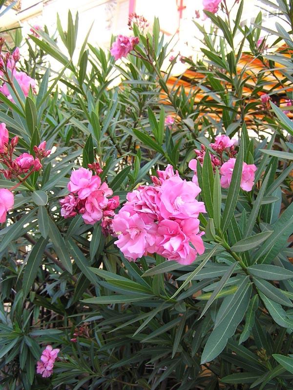 Олеандр ядовитый цветок