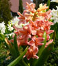 Hyacinthus Gypsy queen