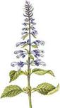 Salvia divinorum